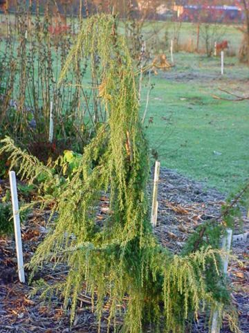 Juniperus communis 'Horstmann' - Jeneverbes