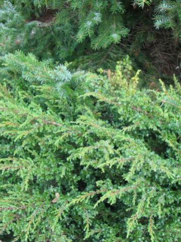 Juniperus communis 'Repanda' - Kruipjeneverbes