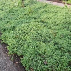 Juniperus communis 'Repanda' - Kruipjeneverbes