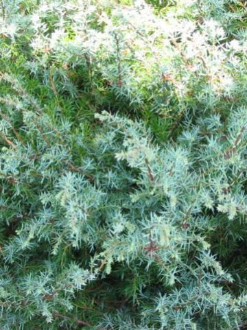 Juniperus communis subsp. alpina  - Jeneverbes