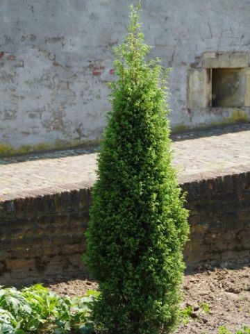 Juniperus communis 'Suecica' - Zweedse jeneverbes