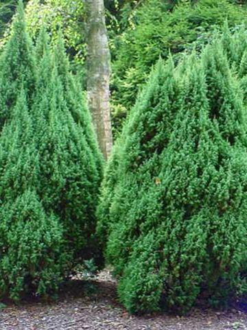 Juniperus pingii 'Loderi' - Dwergjeneverbes