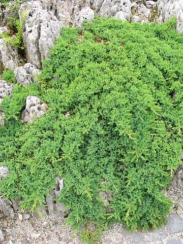 Juniperus procumbens 'Nana' - Jeneverbes