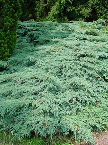 Juniperus squamata 'Blue Carpet' - Dwergjeneverbes