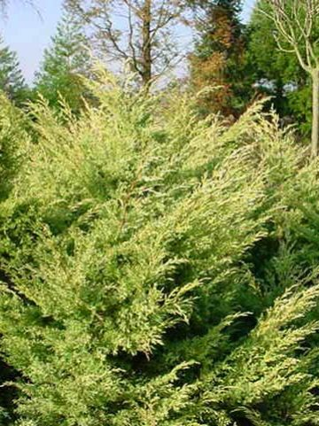 Juniperus virginiana 'Sulphur Spray' - Jeneverbes