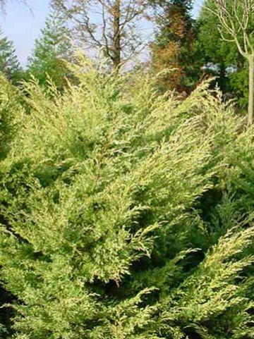 Juniperus virginiana 'Sulphur Spray' - Jeneverbes