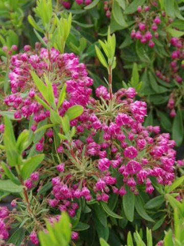 Kalmia angustifolia 'Rubra' - Smalbladige lepelboom