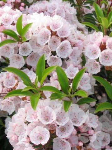 Kalmia latifolia  - Breedbladige lepelboom