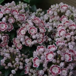 Kalmia latifolia 'Minuet' - Lepelboom