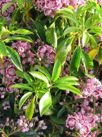 Kalmia latifolia 'Pinwheel' - Breedbladige lepelboom