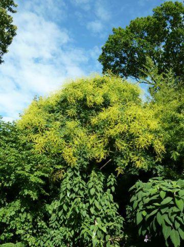 Koelreuteria paniculata - Blaasjesboom, koelruit