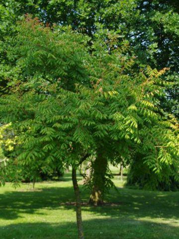 Koelreuteria paniculata 'Coral Sun' - Blaasjesboom , Gele zeepboom