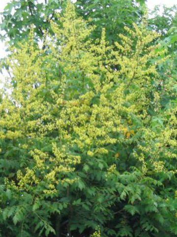 Koelreuteria paniculata 'Rosseels' - Blaasjesboom