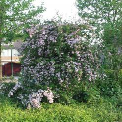 Kolkwitzia amabilis - Koninginnenstruik