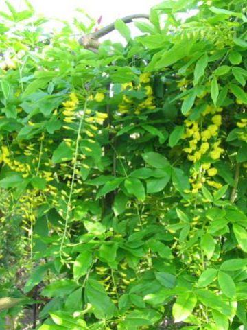 Laburnum alpinum 'Pendulum' - Treur-alpengoudenregen