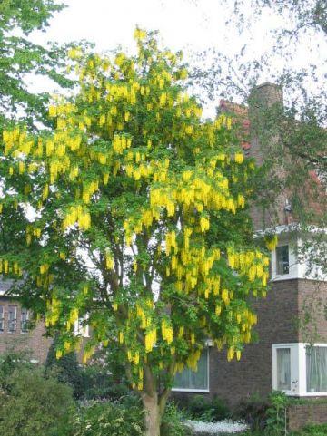Laburnum x watereri 'Vossii' - Gouden regen