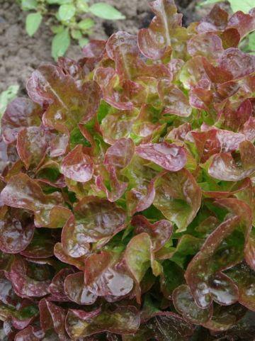 Lactuca sativa 'Red Salad Bowl' - Rode eikebladsla , Eikebladsla, rood