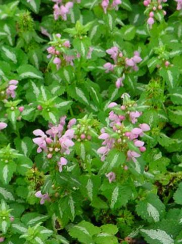 Lamium maculatum 'Shell Pink' - Gevlekte dovenetel