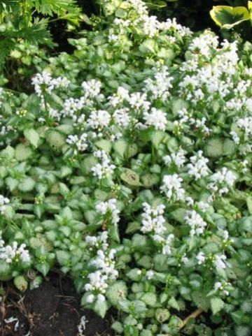 Lamium maculatum 'White Nancy' - Gevlekte dovenetel