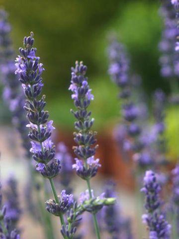Lavandula × intermedia 'Phenomenal' (='Niko') - Lavendel