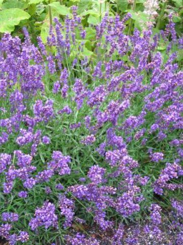 Lavandula angustifolia 'Hidcote' - Lavendel