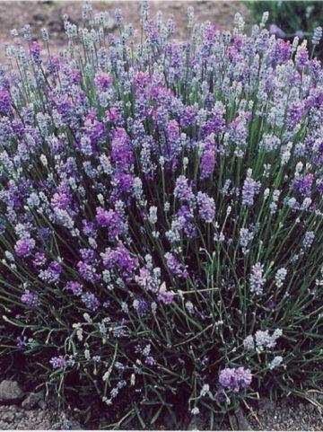 Lavandula angustifolia 'Granny's Bouquet' (='Lavang 38') - Lavendel