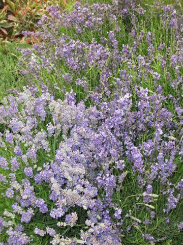 Lavandula angustifolia 'Middachten' - Lavendel