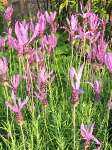 Lavandula pedunculata 'Papillon' - Kuiflavendel , Pruiklavendel