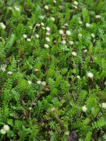 Leptinella squalida - Koperknoopje
