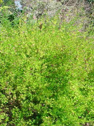 Lespedeza bicolor 'Yakushima' -