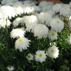 Leucanthemum  'Fiona Goghill' - Gevuldbloemige margriet