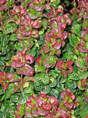 Leucothoe axillaris 'Curly Red' - Leucothoe