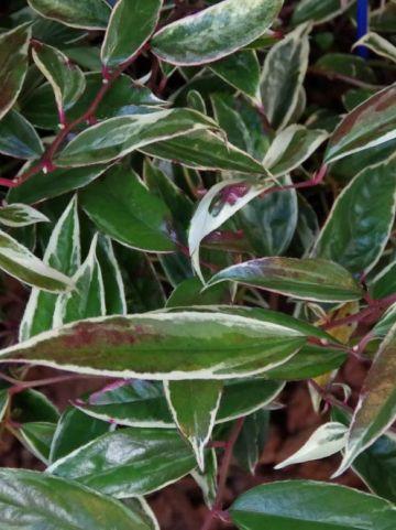 Leucothoe fontanesiana 'Whitewater' (='Howw') - Bontbladige druifheide