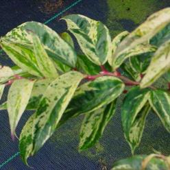 Leucothoe fontanesiana 'Rainbow' - /