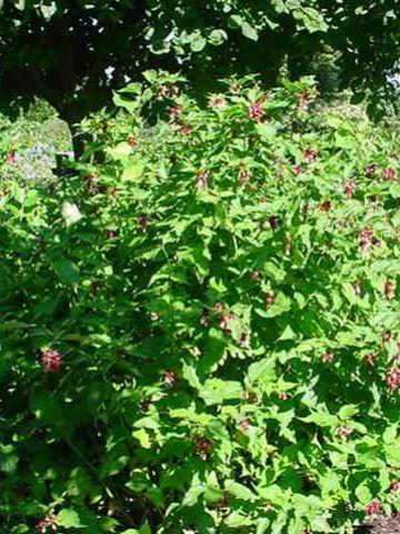 Leycesteria formosa - Grootmoeders oorbellen