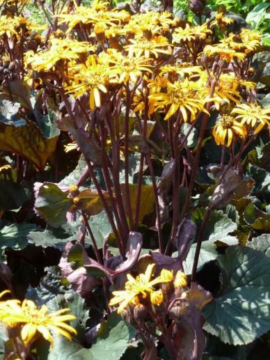 Ligularia dentata 'Britt Marie Crawford' - Donkerbladig kruiskruid