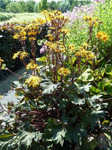 Ligularia 'Osiris Café Noir' - Tongkruiskruid