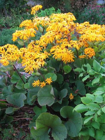Ligularia dentata 'Othello' - Tongkruiskruid