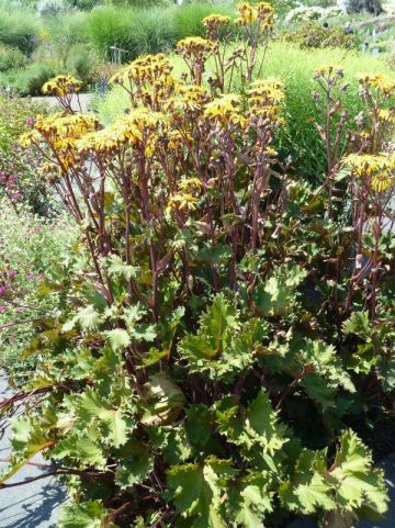 Ligularia 'Osiris Fantasia' - Tongkruiskruid
