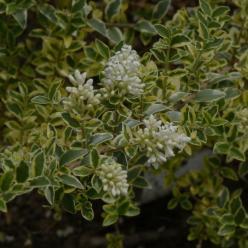 Ligustrum delavayanum 'Verstappens Gold' - Liguster