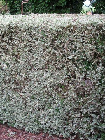 Ligustrum ovalifolium 'Argenteum' - Bonte grootbladige liguster