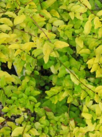 Ligustrum ovalifolium 'Lemon and Lime' -