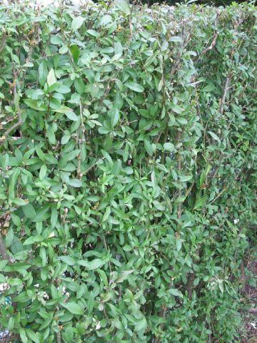Ligustrum vulgare - Gewone of wilde liguster