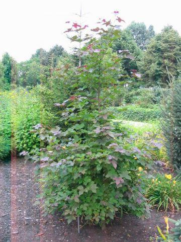 Liquidambar formosana  - Amberboom