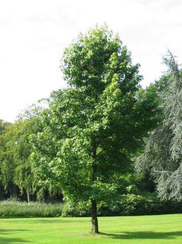 Liquidambar styraciflua - Amberboom