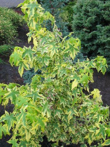 Liquidambar styraciflua 'Golden Treasure' - Bontbladige amberboom