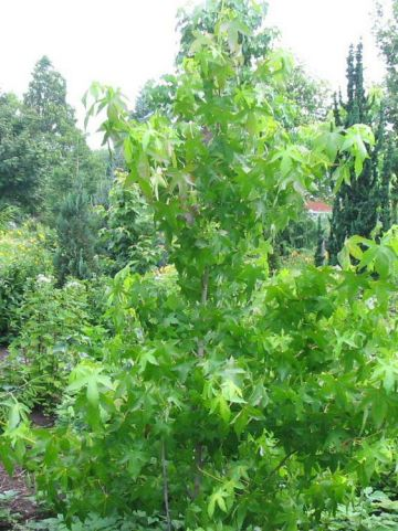 Liquidambar styraciflua 'Gotrev' - Bonte amberboom