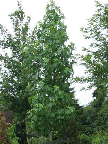 Liquidambar styraciflua 'Moraine' - Amberboom