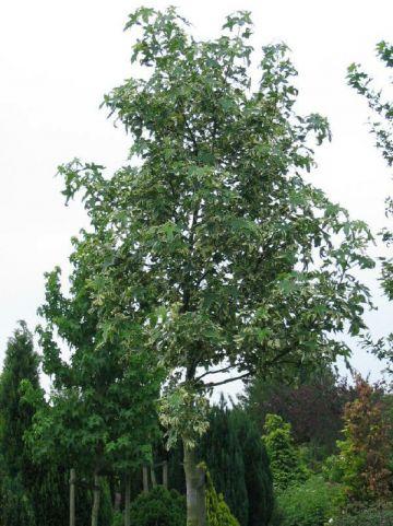 Liquidambar styraciflua 'Silver King' - Bontbladige amberboom