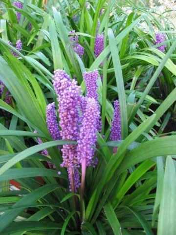 Liriope muscari 'Big Blue' - Leliegras